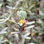 Thymelaea tinctoria
