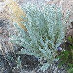 Astragalus asplundii