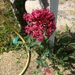 Centranthus ruber 花