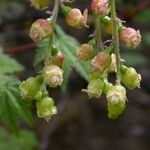 Ribes griffithii