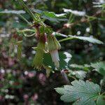 Ribes victoris