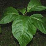 Neea urophylla