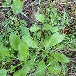 Arabidopsis thaliana Leaf