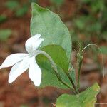 Pseuderanthemum comptonii