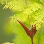 Acacia cornigera