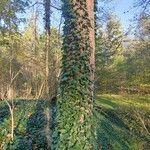 Parthenocissus tricuspidata Levél