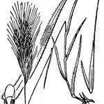 Anisantha fasciculata
