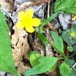 Ranunculus hispidus