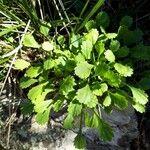 Leucanthemum cuneifolium