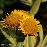 Inula helenioides