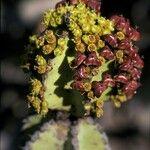 Euphorbia cooperi