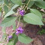 Solanum aviculare