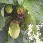 Passiflora quadrangularis Fruit