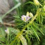 Delphinium ajacis Flor
