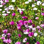 Osteospermum ecklonis Fleur