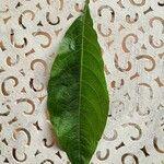 Acnistus arborescens Leaf