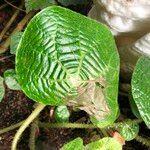 Begonia paulensis