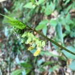 Lathyrus laevigatus