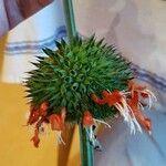 Leonotis nepetifolia