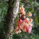 Acropogon sageniifolius
