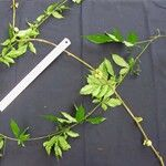 Paullinia mallophylla