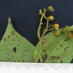 Tournefortia volubilis