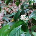Rudgea cornifolia