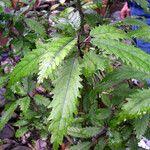 Dendrocnide latifolia