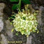 Campanula albicans