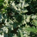 Silybum marianum Leaf