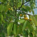Celtis africana Fruit