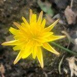 Picris hieracioides