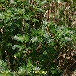 Mercurialis corsica