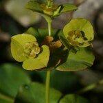 Euphorbia clementei