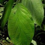 Piper peracuminatum