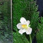 Amalophyllon laceratum
