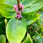 Memecylon caeruleum Fiore