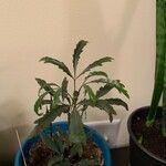 Plerandra elegantissima Habitat