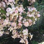 Rhaphiolepis indica Kvet