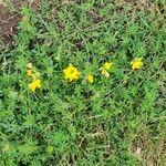 Lotus corniculatus Flor