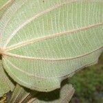 Schefflera morototoni