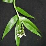 Epidendrum resectum