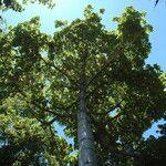Cavanillesia platanifolia