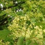 Acer tataricum subsp. ginnala