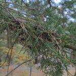 Juniperus virginiana Leht