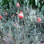 Erica verticillata Flower