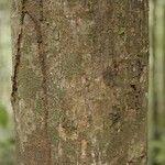 Protium sagotianum