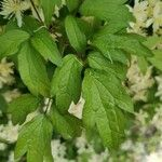 Clematis apiifolia