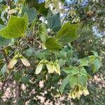Acer monspessulanum Leaf