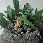 Bulbophyllum japonicum Kukka